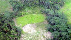 Noticias Criminología. Cultivo de cocaína destroza bosques en Colombia. Marisol Collazos Soto