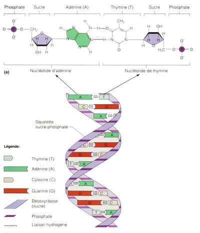 Actualidad Informática. ¿Será el ADN el soporte de almacenamiento definitivo?. Rafael Barzanallana
