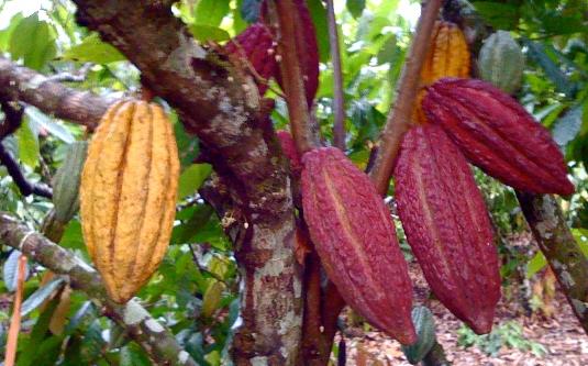 Toca Comer. Planta café brasileño. Marisol Collazos Soto